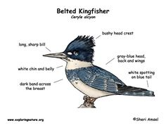 Kingfisher (Belted)