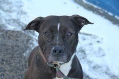 GONE --- URGENT - Brooklyn Center    PRECIOUS - A0990146   FEMALE, CHOCOLATE / WHITE, PIT BULL MIX, 1 yr  STRAY - STRAY WAIT, NO HOLD Reason STRAY  Intake condition NONE Intake Date 01/23/2014, From NY 11216, DueOut Date 01/26/2014 Main Thread:  https://www.facebook.com/photo.php?fbid=750023705010511&set=a.750023641677184.1073742916.152876678058553&type=3&theater