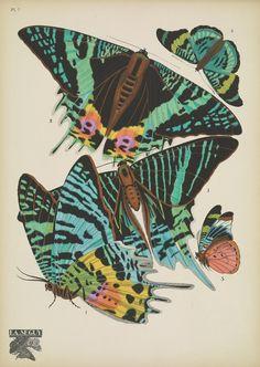 https://flic.kr/p/Dc9mRa   n18_w1150   Papillons;. Paris,Tolmer[ca. 1925]. biodiversitylibrary.org/page/48852979
