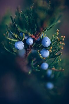 Juniper Berries are chewed and eaten. They help soothe bellyaches, give strength and helps trouble breathing. Also for calming cats