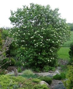 Viburnum lentago 'Nannyberry' in bloom. A great garden plant at Spring Valley Roses.