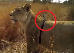 First Person Lion Hunt
