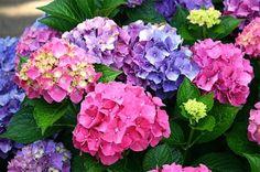 Minden, amit tudni kell a hortenzia metszésérő Wonderful Flowers, Horticulture, Flower Pots, Potted Flowers, Garden Plants, Garden Landscaping, Pergola, Floral Wreath, Bouquet