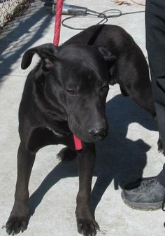 ADOPTED!!! URGENT! Poor Spencer (lovebug) was found in Canton, Ohio, but his owner never came for him...NOW ADOPTABLE!!! Please stop by & meet this sweet boy soon! Meet 02 Spencer a Petfinder adoptable Black Labrador Retriever Dog | Canton, OH | Picked up as a stray on 3/7 Available on 3/11. Spencer had a good day Saturday! He had some...