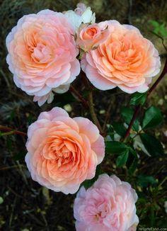 'Apricot Drift' Rose Photo