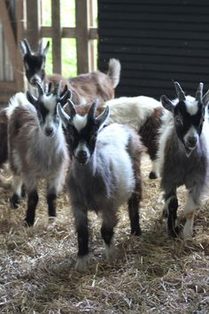 Kid goats on a goat farm / cheesemakers in  Öland, Sweden