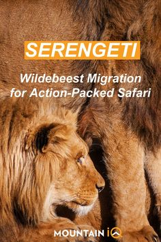 Famous for the Great Wildebeest Migration, the Serengeti National Park is the jewel in Tanzania's crown. With around 1.5 million wildebeest and thousands of other grazing animals following the rains on the endless Serengeti plains, and being chased by thousands of lions, cheetahs, leopards, wild dogs and hyenas, an action-packed safari is guaranteed. Travel Advise, Travel Tips, Grazing Animals, Serengeti National Park, Kilimanjaro, Wild Dogs, Africa Travel, Safari, National Parks