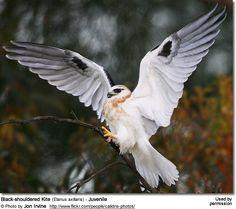 Large Birds Of Prey | Birds of Prey or Raptors...Black Shoulder Kite