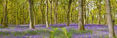 bluebell_wood_path_perth.jpg (700×233)