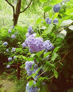 Corresponding period of last year. Meigetsu-in Temple in Kamakura-city. A spot famous for hydrangea; also called 'hydrangea temple.' 去年の名月院の紫陽花 今年は行けないかもしれない  #明月院 #鎌倉 #北鎌倉 #meigetsuin #kamakura #紫陽花 #アジサイ #hydrangea #procamera #vsco #vscocam #flowerlover #flowerstagram #fav_flowers_ #japan #instagramjapan #ig_japan #instaphotography #naturelovers #nature #blossom #igersjp #mwjp #team_jp_flower #indies_gram #hueart_life #写真好きな人と繋がりたい #写真撮ってる人と繋がりたい#iphonephotography #streetphotography