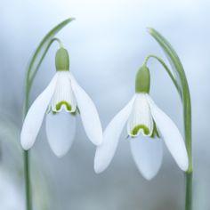 Plants - HC - Snowdrop Duet by Sarah-fiona Helme