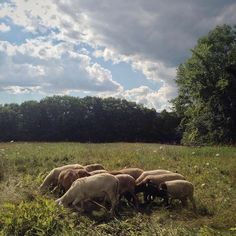 Now that the Rams are separated out from the ladies they are sucking together like glue! #sheep #grassfed #vermont #vermont #soVT #familyfarm