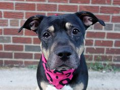 TO BE DESTROYED 10/24/14 Brooklyn Center My name is MAMA. My Animal ID # is A1017496. ***$150 DONATION to NEW HOPE RESCUE that pulls!!*** I am a female tricolor staffordshire mix. The shelter thinks I am about 5 YEARS old. For more information on adopting from the NYC AC&C, or to find a rescue to assist, please read the following: http://urgentpetsondeathrow.org/must-read/