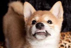 shiba pup American Staffordshire, Pitbull, Dog Growling, Best Dog Training, Training Tips, Furry Tails, Stop Dog Barking, Dog Health Care, Aggressive Dog