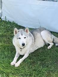 Husky Adopt Rescue Peterborough Husky Dog Adoption Siberian