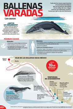 ¿#SabíasQue los sonidos náuticos interfieren con el sistema de orientación de las ballenas y es una causa de sus varamientos? #Infographic