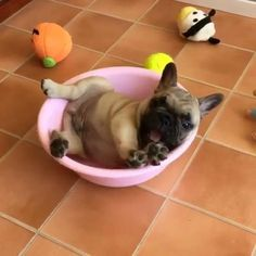 """Arrrrrrgghhhhh!...they'll never get me in here!"", funny French Bulldog Puppy❤"