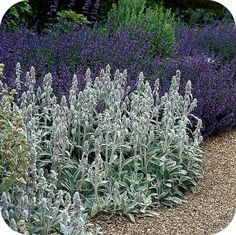 Ezelsoren (Stachys byzantina) English Cottage Garden, Trees To Plant, Garden, Herbaceous Perennials, Coastal Gardens, Stachys Byzantina, Perennials, Plants, Purple Garden