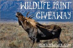 Message me for details  http://RobsWildlife.com  Must follow @mossbackoutfitters  @doylemossphotography  to enter
