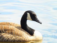 Floating in the Sunshine by Robyn King #floating #sunshine #Canadian #goose #hanging #wall #decor