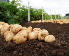 Musca Cepei | Identificare & Tratamente de Combatere Potatoes, Tropical, Vegetables, Food, Plant, Potato, Essen, Vegetable Recipes, Meals