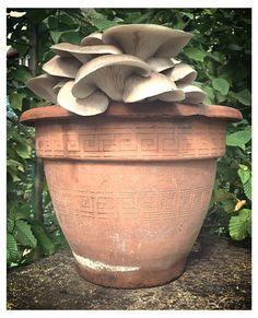 Pilze im Blumentopf auf Kaffeesatz selbst züchten. Foto vom  4. September. Rosenseitlinge, Austernpilze und Zitronenseitlinge. Eine Anleitung zum selber machen, gibt es auf www.pilzpaket.de:pilzzucht-blog: . #Kaffeesatz #Pilze #Pilzpaket #Geschenk