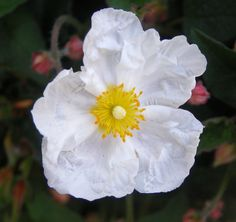 Took a cistus the other day but this is a white version rather than pink. Very pretty little flowers that last for just one day. Rock Rose, Apple Valley, Little Flowers, Pretty Little, Mom, Projects, Plants, Pink, House
