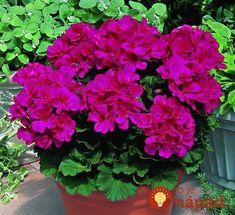 Garden plants for a colorful spring - Decoration Design Pink Geranium, Geranium Flower, Geranium Plant, Container Plants, Container Gardening, Love Flowers, Beautiful Flowers, Seeds For Sale, Cactus Y Suculentas