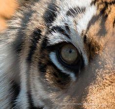 Bengal Tigers eye