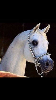 - Jewelry for Horses - Beautiful Arabian Horses, Most Beautiful Horses, Majestic Horse, Pretty Horses, Horse Love, Animals Beautiful, Egyptian Arabian Horses, Arabian Stallions, Andalusian Horse