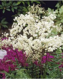 Filipendula vulgaris Plena