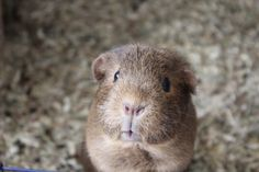 adorable guinea pig Guinea Pig Clothes, Baby Guinea Pigs, Cute Piggies, Strange Photos, Cute Baby Animals, Beautiful Creatures, Animal Photography, Cute Pictures, Pets