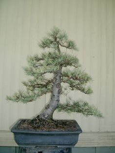 Cedrus Deodara - not an easy species to work with, though this looks great.