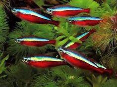 peixes ornamentais - agua doce