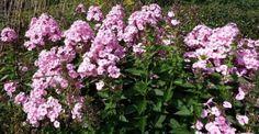 Phlox paniculata 'Herbstwalzer' - p9
