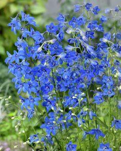 Delphinium_belladonna_Plagu_Blue_53897_19604_1280_1280.jpg 819×1,024 pixels