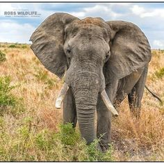 Who doesn't love Elephants  Check out this handsome guy  http://ift.tt/1PSxMR6  #Africa #Elephant #Wild #Wildlife #Wildelephant #Nature #animalkingdom #natgeoyourshot #serengeti #instapic #instagram #instatravel #instadaily #instamoments #instacool #animals #african #africa