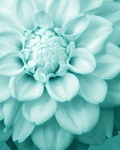 tiffany blue dahlias.