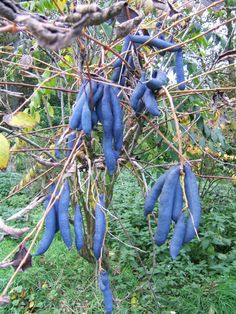 Exotic Edibles Blue Sausage Fruit (Decaisnea fargesli) is native to E. Asia & W. Yes, it really is blue. Blue Plants, Fruit Plants, Fruit Trees, Dog Nursery, Plant Nursery, Digging Dogs, Le Baobab, Blue Fruits, Sugar Scrub Diy