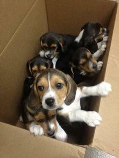 a box of beagles...ta go. <3 #beagle