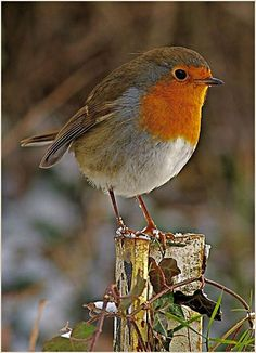 My favourite - the robin - who appears as soon as I start digging in the garden! Why is it that the robin is the only bird where we assume that it's the only one in the world? Cute Birds, Pretty Birds, Small Birds, Little Birds, Colorful Birds, Beautiful Birds, Animals Beautiful, Cute Animals, Robin Bird