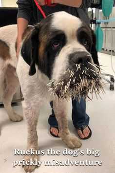 Ruckus the Saint Bernard is painfully curious. When the huge pup saw a porcupine, he was quite interested in the odd-looking creature so he got a closer look. The porcupine responded by offering an arsenal of spiky quills right into the poor dog's face. Funny Animal Photos, Cute Funny Animals, Funny Pets, Boxer Dogs, Pet Dogs, Cute Baby Puppies, St Bernard Dogs, Poor Dog, Crazy Dog Lady