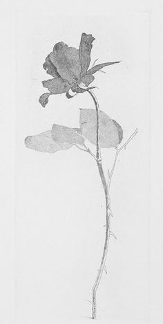 """""""The Rose and the Rose Stalk"""" by David Hockney from """"Grimm's Fairy Tales"""", 1969 (etching and aquatint)"""