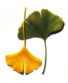 C if for Composition. Photograph by Irving Penn, 1990Penn's striking Ginkgo Leaves photo provided inspiration for our own Ginkgo Leaf jewelry collection.