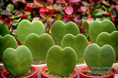 Fotografía artísticas para decorar. Corazones verdes de Wifred Llimona. Ref: F00308 http://www.lallimona.com/foto/fotografias-artisticas-flora/