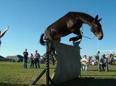 That mule can jump!