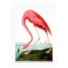 Add eye-catching appeal to your entryway or living room with this canvas giclee print of John James Audubon's American Flamingo.
