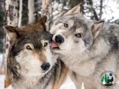 Dedicated to the rescue of and education about wolves and wolf-hybrids. Advocates wolves in the wild, not the backyard. Colorado Wolf and Wildlife Center. Wolf Photos, Wolf Pictures, Animal Pictures, Wolf Images, Pet Photos, Animals And Pets, Baby Animals, Funny Animals, Cute Animals