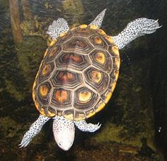 Diamantrugschildpad - Wikipedia