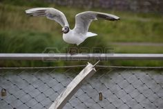 Seagull on a fence